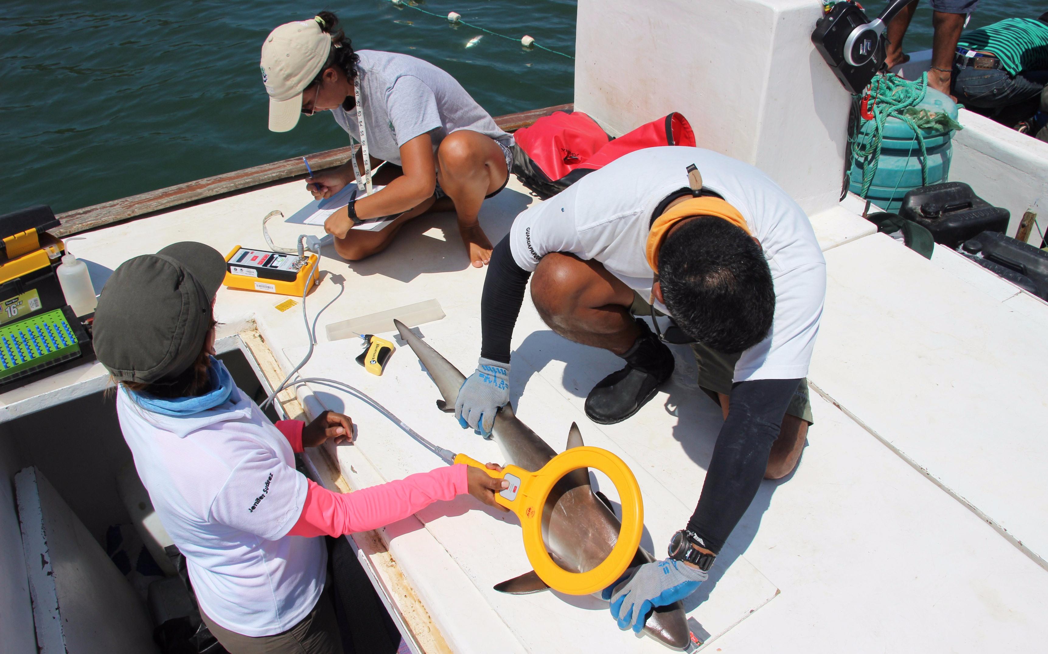 Marcaje tiburones Galápagos