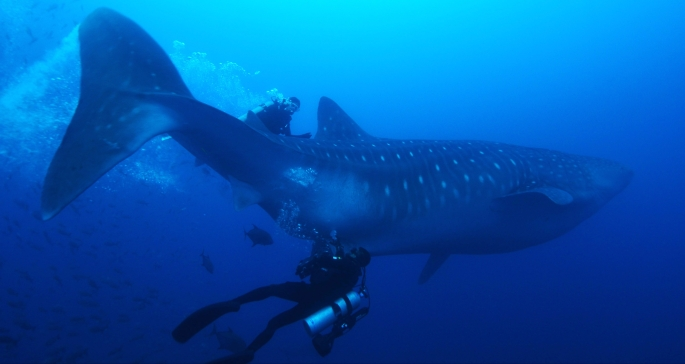 Tiburón ballena Galápagos