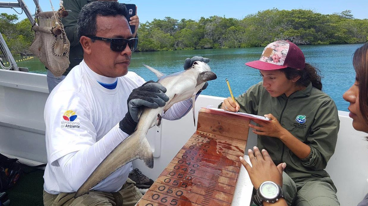 Tiburón martillo Galápagos