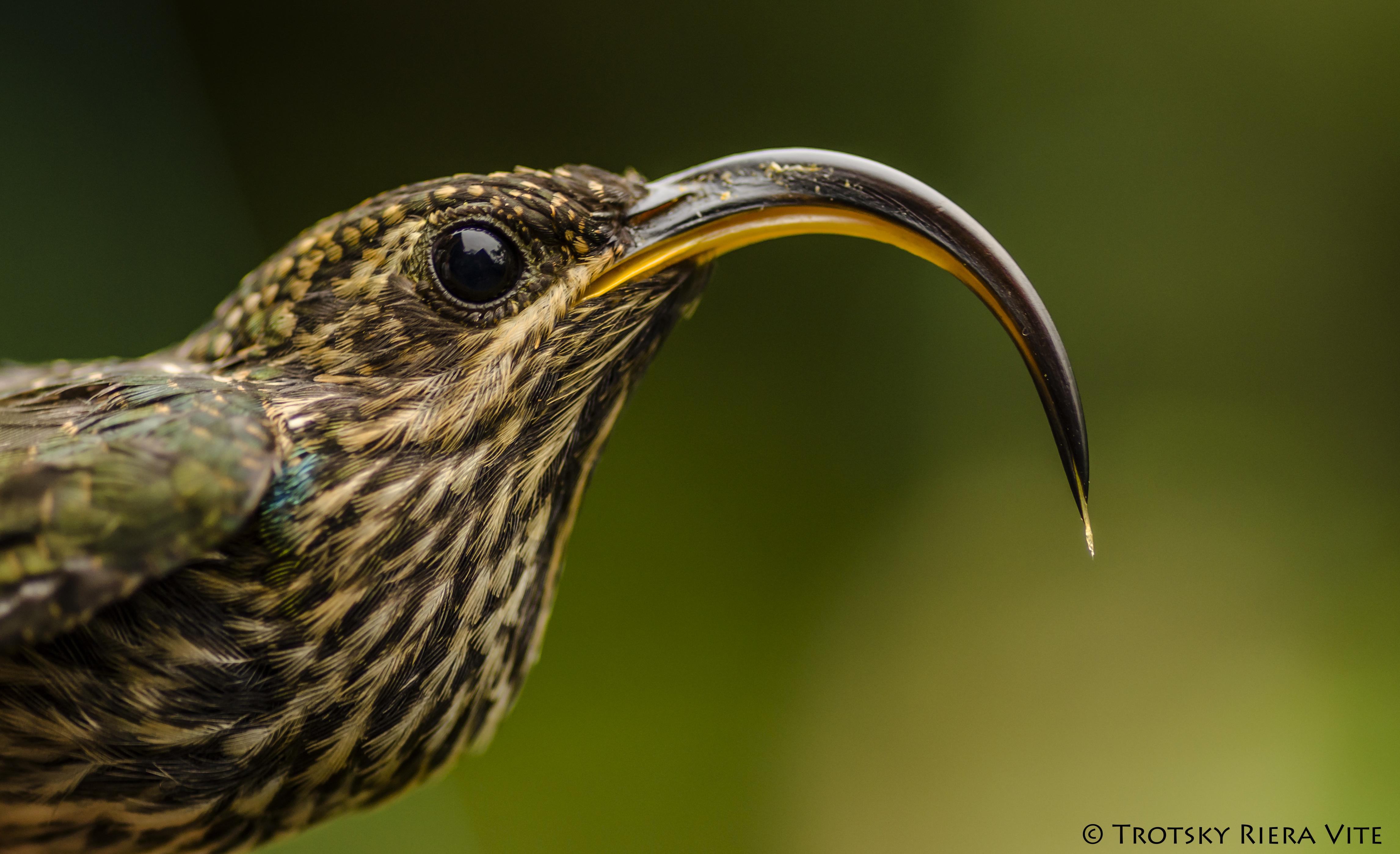 colibri pico de hoz
